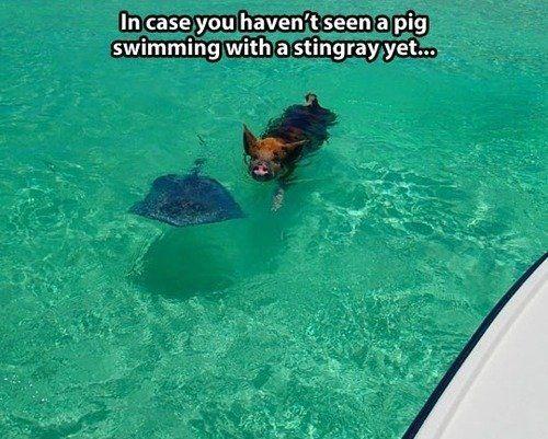 pig-ray?